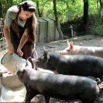 Porcii țăranilor îi deranjează